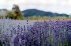 Lavender has a zillion uses. Here are 7 ideas from Kabinet members...