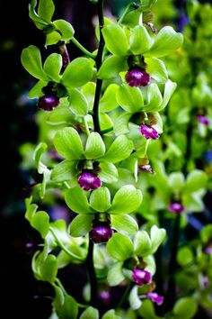 Dendrobium Orchid Singapore - lime green and rich purple, beautiful combination!