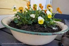Emalivati ja orvokit.  Sonnihaan keltainen tupa Plants, Plant, Planets