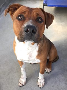 OLLIE - ID #A475336 (MUST EXIT ON 11/8) Maria's VIDEO http://www.youtube.com/watch?v=lclx9niS1Ds I am a male, tricolor Labrador Retriever and Pit Bull Terrier mix.  Shelter staff think I am about 1 year old.  I have been at the shelter since Nov 02, 2014. If I am not claimed, after my stray holding period, I may be available for adoption on Nov 08, 2014. San Bernardino City Shelter - Phone: 909-384-1304, Address: 333 Chandler Pl., San Bernardino, CA 92408.