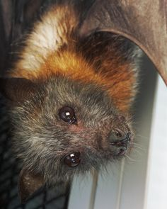 We're getting into the #Halloween spirit with this week's spook-tacular #animaloftheweek, the Grey-headed flying fox. Native to the rain forests of northeastern Australia, this species is named for the canine appearance of its head and golden-orange fur!