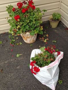 Garden Planning how to save and store geraniums, flowers, gardening, how to, storage ideas - I have an easy way to save your geraniums from year to year. In mid September to early October cut back geranium and place container in a large garbage bag in y… Organic Gardening, Gardening Tips, Indoor Gardening, Vegetable Gardening, Winter Container Gardening, Hydroponic Gardening, Gardening Supplies, Growing Geraniums, Red Geraniums