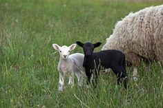 black sheep, how my life was explained to me when I was very young.  Actually, it made things easier.