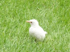 Albino Starling