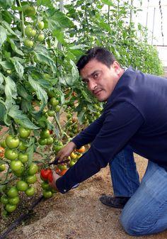 THM - Tecnologías de la Horticultura Mediterránea: Las novedades de Fitó en Almería para esta campaña 2013-214 dan buenos resultados en los invernaderos. El tomate Paladium de FITO. En la foto está Juna Manuel Viñolo, de la zona de Ruescas en Almería, España