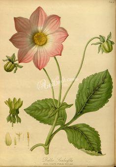 dahlia sambucifolia      ...