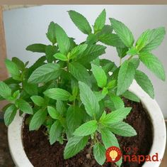 Fitness & Beauty: If You Have This Plant In Your Home, You Will Never Again See Spiders And Other Insects! Peppermint Plants, Peppermint Oil, Get Rid Of Spiders, Healing Herbs, Farm Gardens, Green Cleaning, Natural Solutions, Cool Diy Projects, Garden Supplies