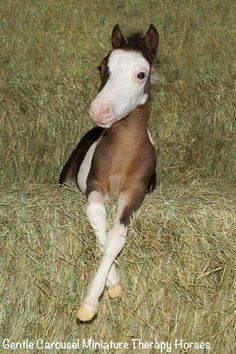 Little foal sitting on hay pretty as a picture.