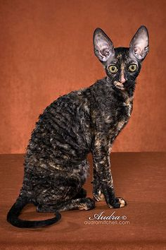 Gorgeous Cornish Rex Tabby Cats, Sphynx Cat, Cats And Kittens, Siamese Cats, Kitty Cats, Exotic Pets, Exotic Animals, Animals And Pets, Cute Animals