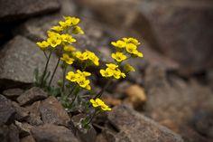 Alpine Draba by DenaliNPS