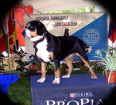 Erfolg Animals, Pictures, Entlebucher Mountain Dog, Photograph Album, Pet Dogs, Animales, Animaux, Animal, Animais
