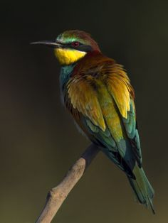 European Bee-eater at sunrise by Jamie MacArthur on 500px