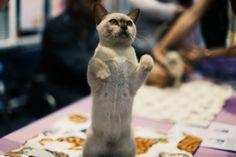 'I wanna walk like you-hoo-hoo' #pets #cats #eastershow #tricks