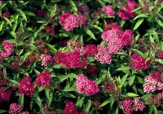 Neon Flash Spirea is such a useful little thing! Bright neon-red flowers appear over a long period over rich green foliage that becomes dark burgundy in fall. Creates a colorful low hedge or mass planting. Full sun. Fast, reaches 3 ft. tall and wide. Zone: 4 – 9