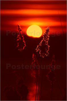 Poster Schilf im Sonnenuntergang