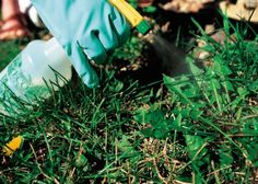 How To Kill Weeds Without Injuring Your Lawn--Identify the weed and choose the best control.  Includes a link to Lawn Weed Identification Guide to help you identify what is growing in your lawn.