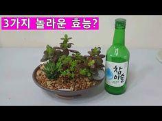 소주로 깍지벌레 죽이기!! 와 아주 놀라운 실험결과를 알려드립니다 - YouTube Plants, Resin, Plant, Planets