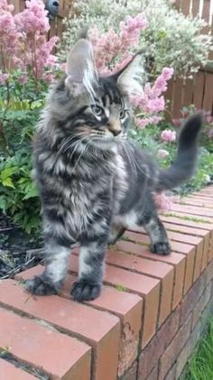 Cute Wild Animals, Cute Funny Animals, Animals And Pets, Cute Cats, Funny Cats, Pretty Cats, Beautiful Cats, Animals Beautiful, Lion Cat
