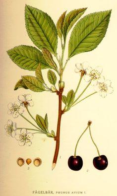 Prunus avium L.. - Bilder ur Nordens Flora / 1917-1926