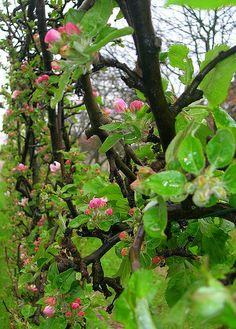 Apple trees. Vertical growing is the best for growing fruit & nut trees in tight spaces
