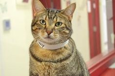 Faraday is an adoptable Tabby - Brown Cat in Springfield, IL. Sangamon County had an�anonymous�party donate money to subsidize adoption fees on all cats over one year of age that are adopted through t...