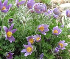 One of the earliest spring bloomers, the purple or lavender blooms of pasque flowers were once used to dye Easter eggs.