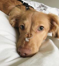 dear future husband i want this dogs love animals pets Disney Instagram, Instagram Girls, Instagram Dog, Instagram Posts, Dachshund, Dear Future Husband, Fantasy Wedding, Dream Wedding, Ring Verlobung