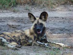 Best animal dads: African wild dog