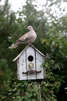 Collared Dove on Birdhouse