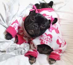 Frenchies in jammies