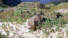 Beach Wombat Wilsons pr.