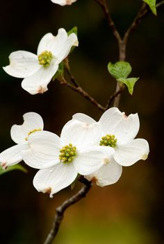 Photos of Nature Photos Of Dogwood Flowers - Diy Flowers Dogwood Trees, Dogwood Flowers, Flowering Trees, Flowers Nature, White Flowers, Beautiful Flowers, Bouquet Flowers, Art Flowers, Sugar Flowers
