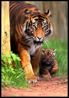 Momma Tiger and cub