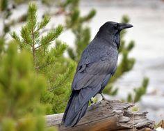 Still More Roaring Mountain Raven by Canislupuscorax on DeviantArt