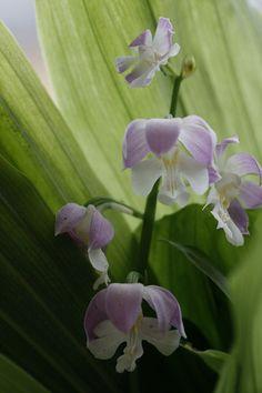エビネ蘭や、その他の蘭です。 - クレマチスとベルと花々 淡い紫系