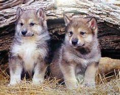 Cute Grey Wolf Pups in Ab.