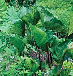 Colocasia esculenta 'Coffee Cups' | Fine Gardening - these are still holding their own although they look a bit sad