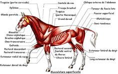 Kicked in the Head: The Equestrian Helmet Horse Anatomy, Animal Anatomy, Veterinary Studies, Livestock Judging, Horse Information, Horse Facts, Appaloosa Horses, Horse Care, Horse Riding