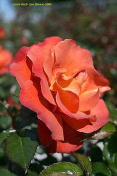 Laura Bush rose-must have for my rose garden.