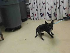 This DOG - ID#A468032 - URGENT - Harris County Animal Shelter in Houston, Texas…