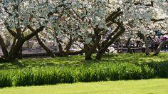 Trees in full blossom.
