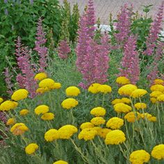 (Gold Plate Yarrow with Agastache pictured) - info article by David Salman, High Country Gardens Yellow Perennials, Heat Tolerant Plants, Planting Flowers, Plant Design, Yarrow, Fragrant Flowers, Perennials, High Country Gardens, Perfect Plants