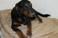 TN. Molly D2 Kennel 9 Adult male (name?) Rottie Mix Owner Surrender--Available NOW  Winston Kennel 5 - Male Boxer Mix  Owner Surrender--Available NOW  The SPCA of Bradley County's adoption fee is $50 and includes spay/neuter; DHPP/FVRCP, bordetella, rabies vaccinations; deworm; microchip with free lifetime registration https://www.facebook.com/photo.php?fbid=222032914660150&set=a.222032907993484.1073741830.158812090982233&type=1&relevant_count=1
