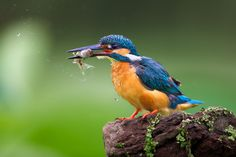 Kingfisher 9 by Kant Liang on 500px