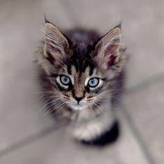 blue eyed kitten by Brooke Pennington, via Flickr