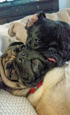 Pugs in love!