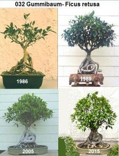 Are you interested in getting an indoor bonsai tree? If you are, then you definitely need to learn about how you can take good care of your tree. Dwarf Plants, Bonsai Plants, Bonsai Garden, Bonsai Making, Bonsai Pruning, Prunus Mume, Indoor Bonsai Tree, Bonsai Tools, Plantas Bonsai