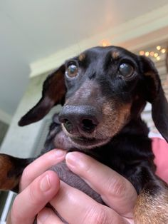 Dachshund Breed, Wire Haired Dachshund, Best Puppy Food, Fruit Bat, Miniature Dachshunds, Best Puppies, The Perfect Dog, Small Breed, Terrier Mix