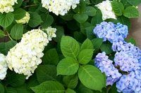 How Do I Take Care of an Endless Summer Hydrangea? | eHow