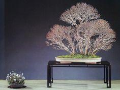 bonsai de forêt - acer buergeranium